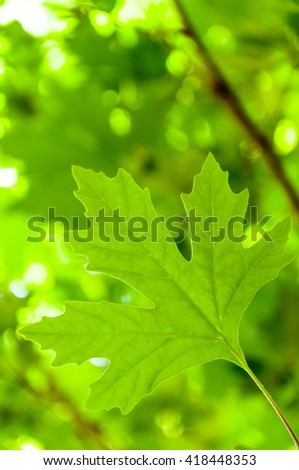 Green maple leaf background - stock photo