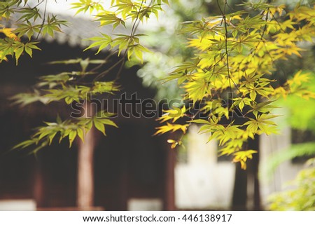 Green maple leaf in China during early Spring - stock photo