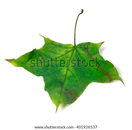 Green maple leaf. Isolated on white background. - stock photo