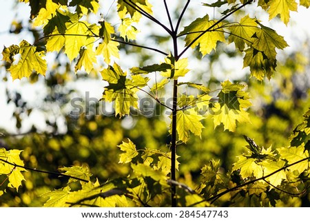 Green maple leaves on the background of spring foliage backlit with the setting sun, Sweden - stock photo