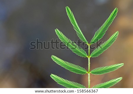 green mimosa shoot close-up  - stock photo