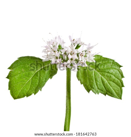 green mint leaves blooming close up isolated on white - stock photo