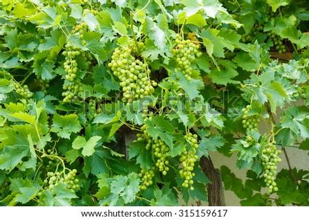 Green Muscat Ottonel grape clusters in vineyard - stock photo