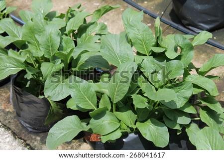 Green mustard in irrigation - stock photo