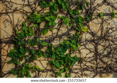 Green natural ivy on the wall. - stock photo