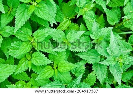 green nettle - stock photo
