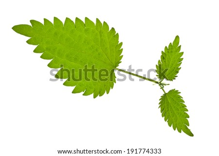 Green nettle isolated on white - stock photo