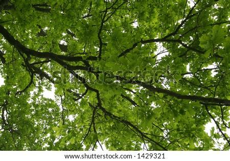 green oak branch - stock photo