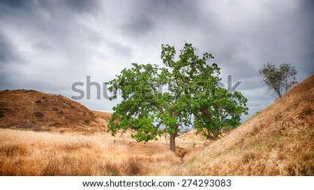 Green oak grows in a valley of dried dead grass. - stock photo