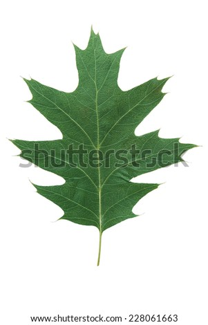 green oak leaf as an symbol as a seasonal themed concept as an icon of the fall weather on an isolated white background. - stock photo