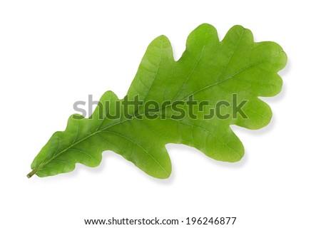 Green oak leaf isolated on white background - stock photo