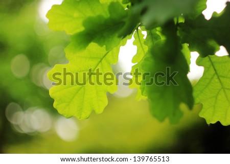 green oak leaves - stock photo