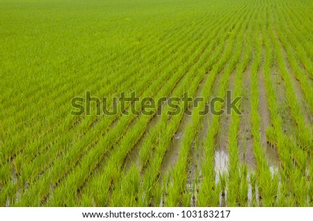 Green of rice. - stock photo
