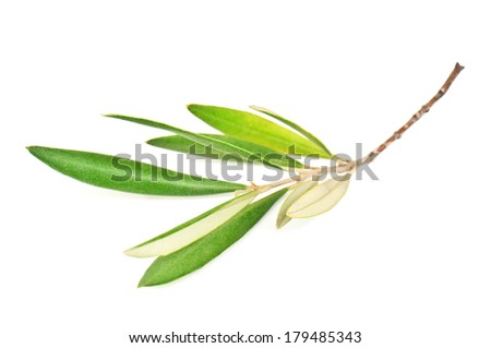 green olive branch on white - stock photo
