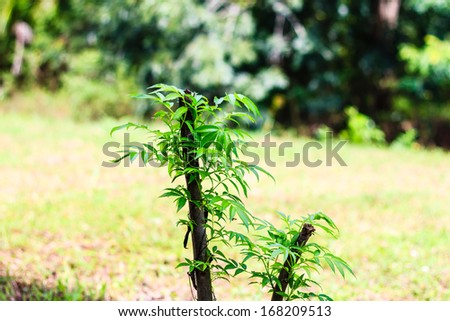 Green olive treetop in nature garden, Olive tree - stock photo