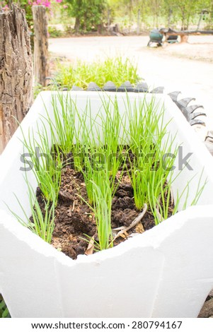Green Onion in pottde - stock photo