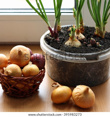 Green onions grown on the windowsill at home and a ripe onion in a wicker basket on a wooden surface. The bulbs are planted in soil in plastic containers. - stock photo