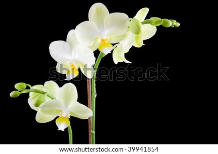 Green orchid on black background - stock photo