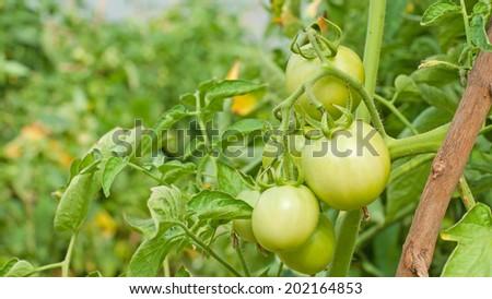 green organic tomato plant and fruit - stock photo