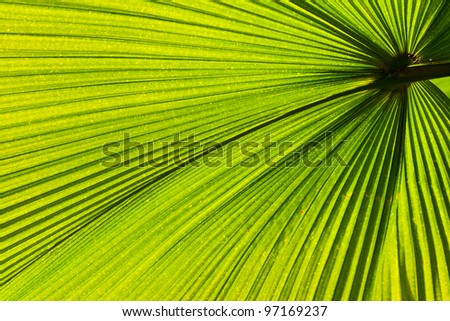 Green palm leaf with radial veins with radiant color viewed against bright sunlight - stock photo