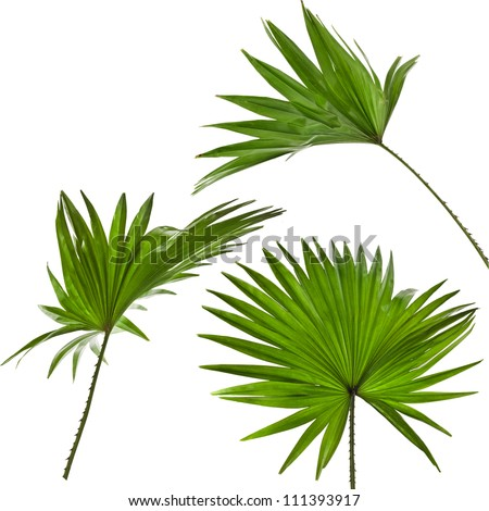 green palm leaves (Livistona Rotundifolia palm tree) set  isolated - stock photo