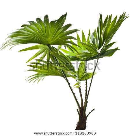 green palm (Livistona Rotundifolia palm tree) isolated - stock photo