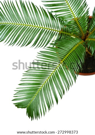 Green palm tree in pot close up - stock photo