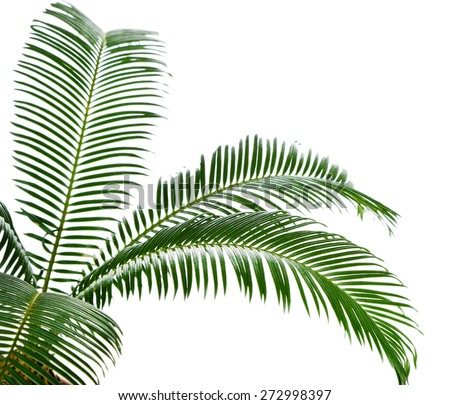 Green palm tree isolated on white - stock photo