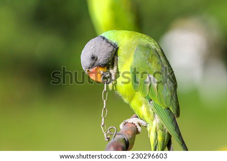 green parrot bound in chains,Longing for freedom  - stock photo