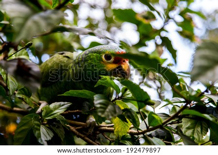 green parrot in natural habitat - stock photo