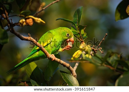 Green parrot, Yellow-chevroned Parakeet, Brotogeris chiriri, bird in the nature tree habitat, eating fruit, Pantanal, Brazil - stock photo