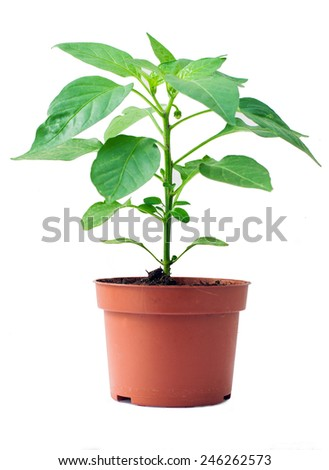 green pepper plant on plastic pot with white blackground - stock photo