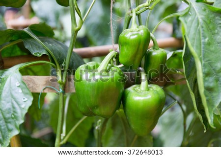 green peppers growing in the garden. - stock photo