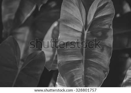 Green Philodendron leaves background , black and white - stock photo
