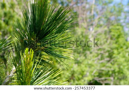 Green pine branches photographed close - stock photo