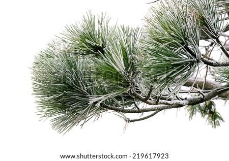 Green pine tree branch isolated on the white with snow - stock photo