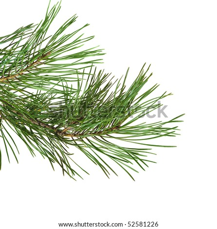 green pine twig  on white background - stock photo