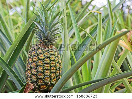 Green pineapple - close up image made in Dole Plantation, Oahu, Hawaii - stock photo