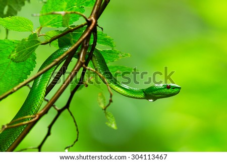 Green pit viper snake, Asian pit viper snake, in nature - stock photo