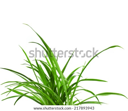 Green Plant Chlorophytum isolated on white background - stock photo