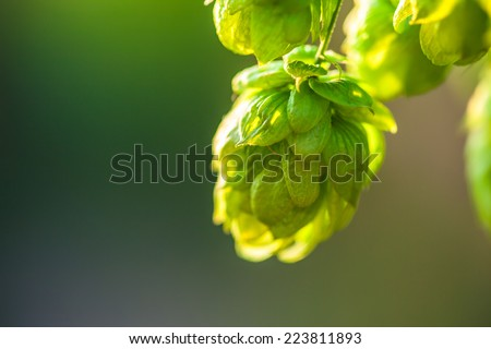 Green plant hops. - stock photo