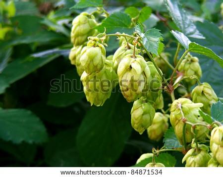 Green plant hops. - stock photo