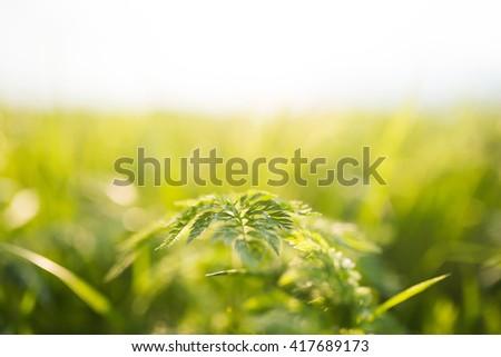 green plant in morning sunlight - stock photo