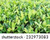 Green plant leaf background - stock photo