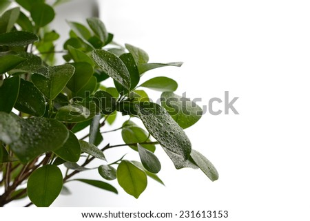 Green plant leaves isolated on white background. - stock photo