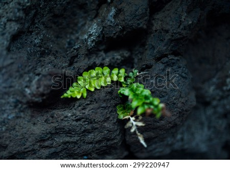 green plant on the black rock, Green fern plant on black lava field - stock photo