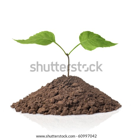 green plant with leaves in earth isolated on white - stock photo