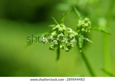 Green plant with little white blossoms - stock photo