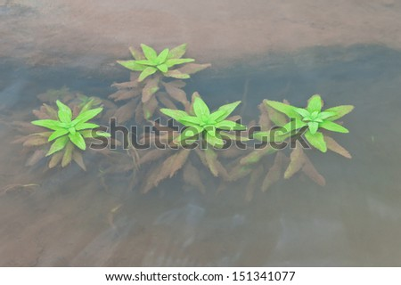 Green plants in water. clear water. transparent view of green leafs under water - stock photo