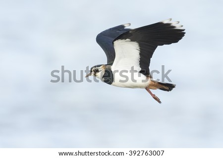 Green plover or Northern lapwing, Vanellus vanellus, flying on a sunny day. Water on the background - stock photo